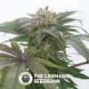 Bubba Kush 2.0 Feminised Humboldt Seeds