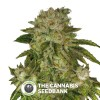 MK - Ultra Kush Auto (T.H. Seeds) - The Cannabis Seedbank