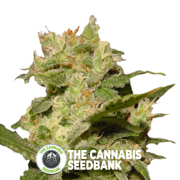 Jack Auto - Autoflowering - Paradise Seeds